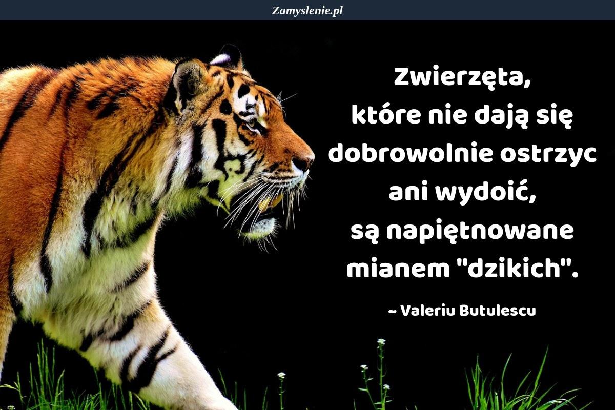 Obraz / mem do cytatu: Zwierzęta, które nie dają się dobrowolnie ostrzyc ani wydoić, są napiętnowane mianem