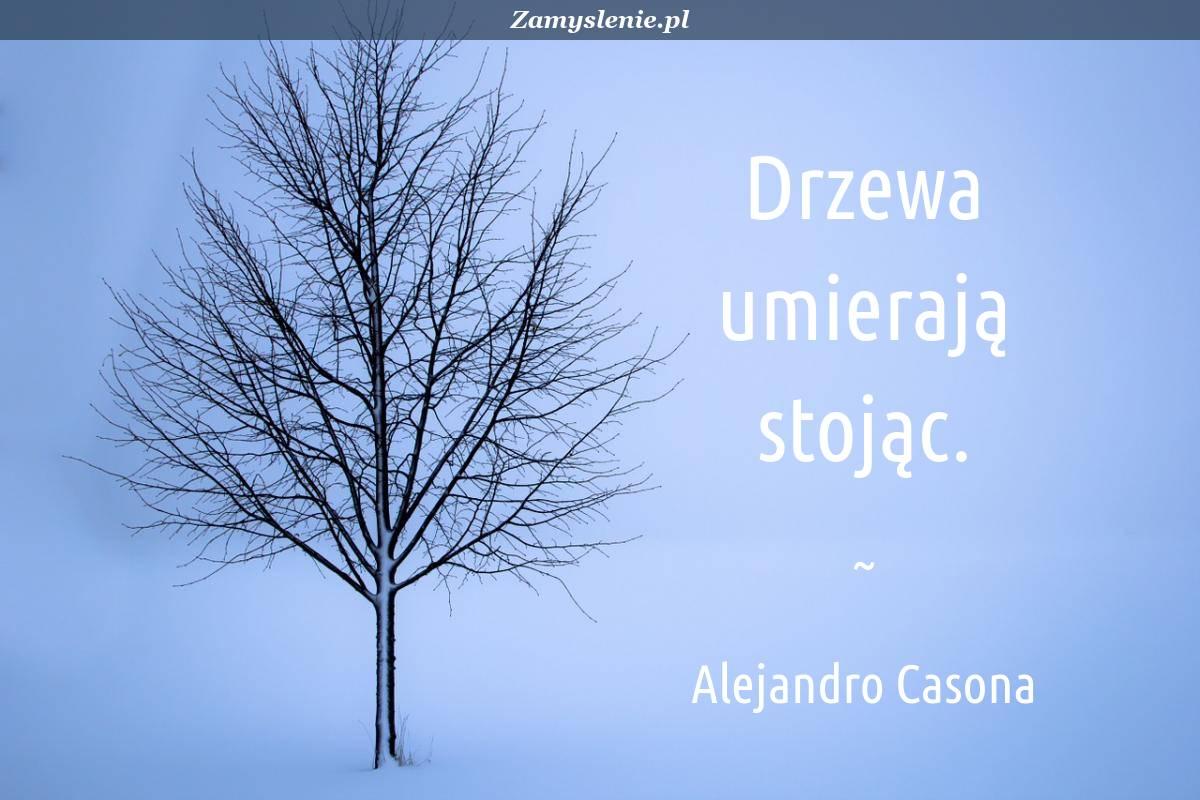 Obraz / mem do cytatu: Drzewa umierają stojąc.