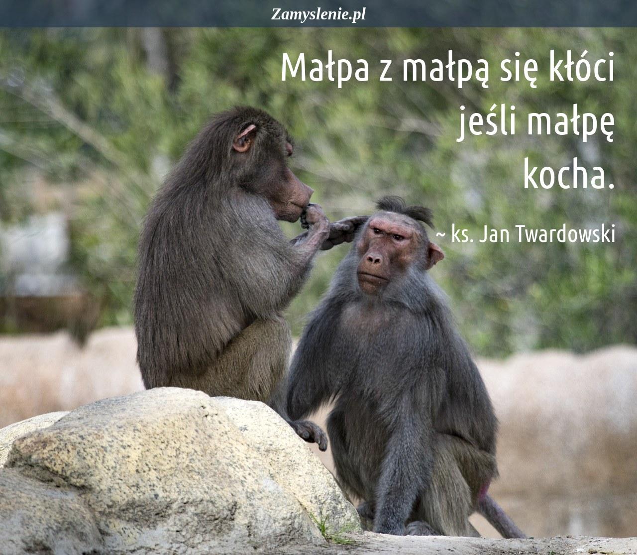 Obraz / mem do cytatu: Małpa z małpą się kłóci jeśli małpę kocha.